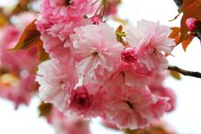 Free Bunches Of Pink Stock Photos - 1330883
