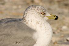 Free Ring-billed Gull Royalty Free Stock Image - 1331096
