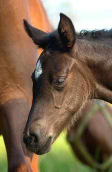 Free Young Foal Royalty Free Stock Images - 1334209