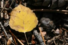 Free Decaying Aspen Leaf Stock Photos - 1334833