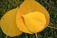 Free Fall Season Aspen Leaves Royalty Free Stock Images - 1334859