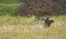 Free Elk At Rest Royalty Free Stock Photos - 1335778