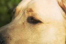 Free Labrador Retriever Eye Stock Photos - 1336513