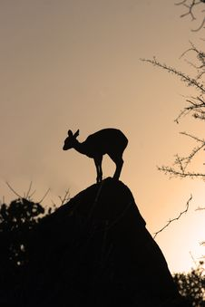 Free Klipspringer On A Rock Royalty Free Stock Photo - 1337035