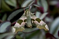 Free Lime Hawk-moth (butterfly) Stock Photo - 1337240