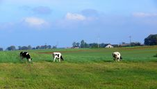 Free Cows Royalty Free Stock Photos - 1337708