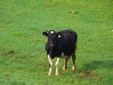 Free Cow Stock Photos - 1337853