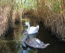 Free Almost Grown-up Swan Stock Photos - 1337993