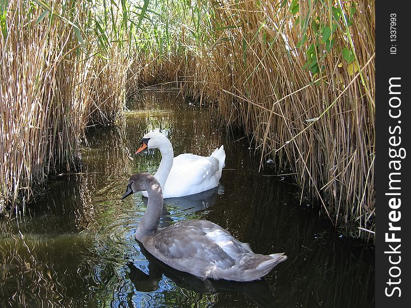 Almost grown-up swan