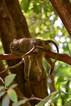Free Selective Focus Photography Of Sleeping Monkey On Branch Stock Photo - 133049480