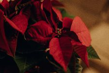 Free Red And Green Mistletoe Selective Focus Photography Stock Photo - 133049530