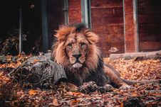 Free Photo Of Lion Lying Down On Ground Stock Image - 133049581