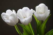 Free Beautiful White Tulips Royalty Free Stock Photography - 13325247