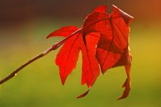 Free Maple Leaves Stock Image - 13340601