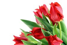 Free Springs Red Tulips Isolated Royalty Free Stock Photo - 13347555