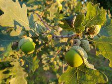 Free Leaf, Fruit Tree, Acorn, Fruit Royalty Free Stock Images - 133462429