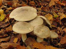 Free Mushroom, Fungus, Edible Mushroom, Medicinal Mushroom Royalty Free Stock Photography - 133462497