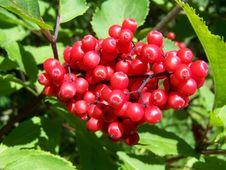 Free Berry, Plant, Fruit, Rowan Royalty Free Stock Photography - 133462547