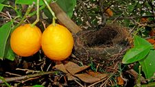 Free Fruit, Citrus, Fruit Tree, Plant Royalty Free Stock Image - 133462626