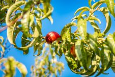 Free Fruit, Plant, Tree, Fruit Tree Royalty Free Stock Photos - 133463218