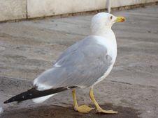Free Bird, Gull, Seabird, European Herring Gull Royalty Free Stock Photo - 133463515