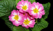 Free Flower, Primula, Flowering Plant, Plant Stock Photography - 133463622