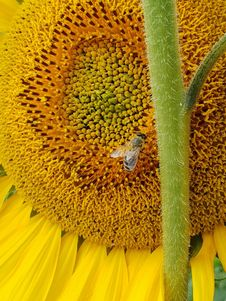 Free Sunflower, Honey Bee, Pollen, Sunflower Seed Royalty Free Stock Photos - 133463848