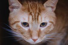 Free Orange Tabby Cat Royalty Free Stock Images - 133489209
