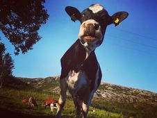 Free Close-up Photo Of Cow Royalty Free Stock Photos - 133489458