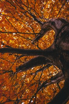 Free Maple Tree Stock Photos - 133489553