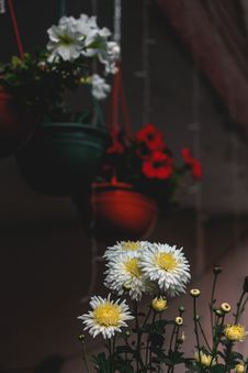 Free White Daisy Flowers In Focus Photography Stock Images - 133489644