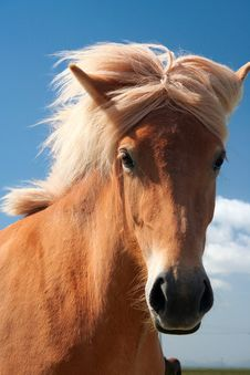 Free Icelandic Horse Royalty Free Stock Photography - 13357647
