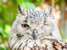 Free Close-up Photo Of Owl With One Eye Open Royalty Free Stock Image - 133728536