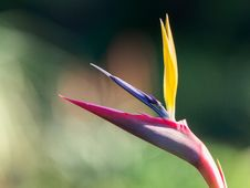 Free Birds Of Paradise Plant Stock Photo - 133728620