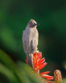 Free Brown Bird Perched On Red Flower Stock Photography - 133729072