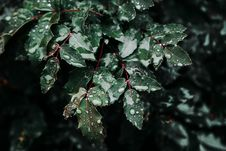 Free Close-Up Photo Of Wet Leaves Royalty Free Stock Photos - 133729238