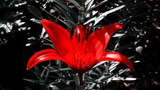 Free Red, Plant, Flora, Black And White Royalty Free Stock Photos - 133774008
