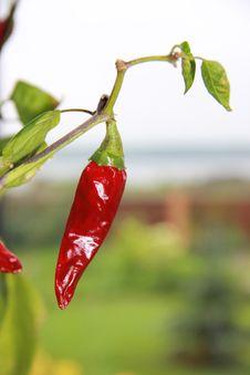 Free Bird S Eye Chili, Chili Pepper, Malagueta Pepper, Tabasco Pepper Stock Images - 133774054