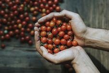 Free Close-up Of Hands Holding Cherry Tomatoes Stock Photos - 133792033