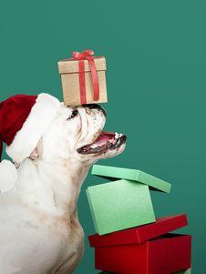 Free Brown Gift Box On White Bull Dog S Head Stock Photos - 133792263