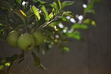 Free Close-Up Photo Of Green Apples On Tree Royalty Free Stock Photos - 133893218