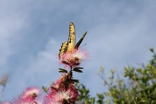 Free Yellow And Black Eastern Tiger Swallowtail Butterfly Perched On Pink Petaled Flower Stock Image - 133893271