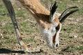 Free Springbok Head Royalty Free Stock Photos - 1345528