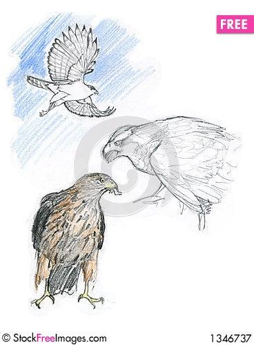 Free Goshawk Bird Royalty Free Stock Photography - 1346737