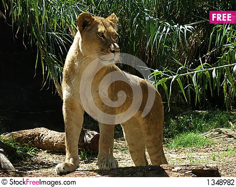Lioness on guard Stock Photo