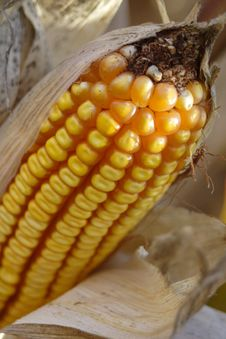 Free Corn Stock Photo - 1341590