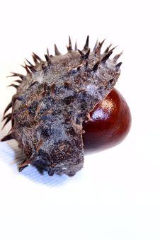 Chestnut Hedgehog Stock Photo