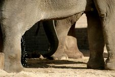 The Asian Elephant (paws) Stock Image