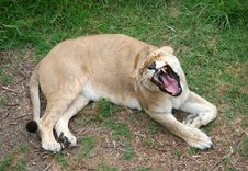 Free Lioness Roaring Stock Photo - 1344570