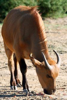 Free Buffalo Eating Stock Photos - 1344963